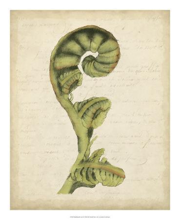 Fiddlehead Ferns I