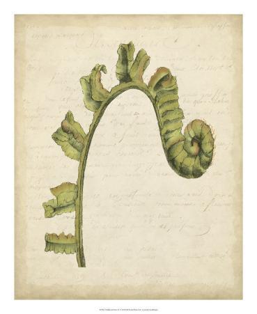 Fiddlehead Ferns III