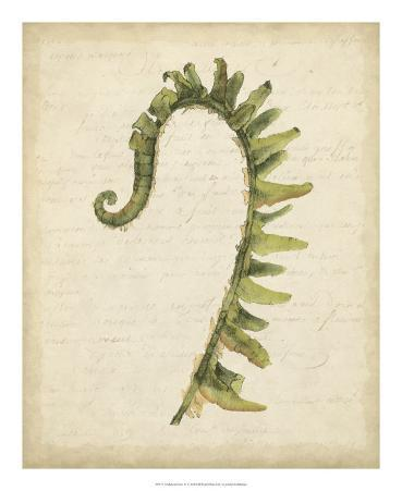 Fiddlehead Ferns IV