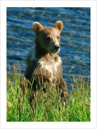 Kodiak Bear Cub