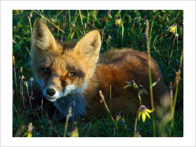 Fox in Alaska Spring Flowers