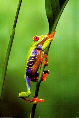 Red Eyed Tree Frog Prints At Allposters Com