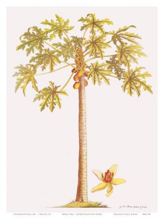 Papaya Tree, Botanical Illustration, 18th Century