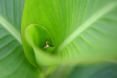 Leaf II