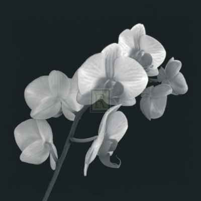 Orchid Illusion I