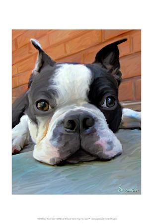 Moxley Boston Terrier