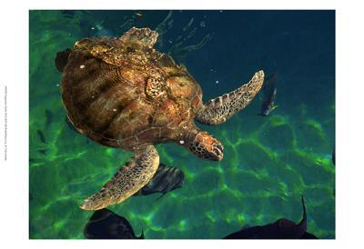 Aegean Sea Turtles III
