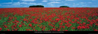 Cotswolds, Field of Poppies