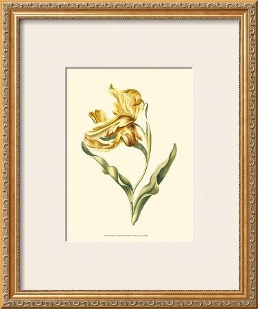 Tulipa IV