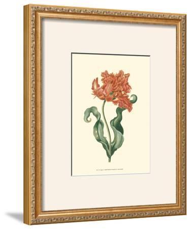 Tulipa VI