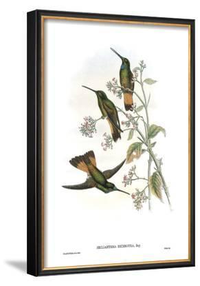 Helianthea Dichroura, Hummingbirds