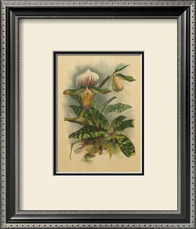 Lindenia Orchids I