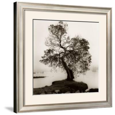 Coast Oak Tree