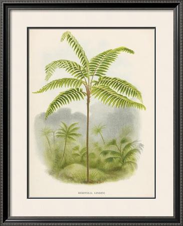 Tree Fern (Hemitelia Lindeni)