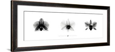 X-Ray Orchid Triptych