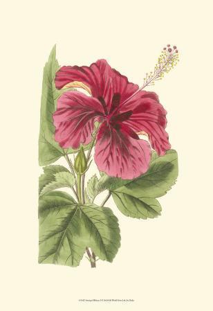 Antique Hibiscus I