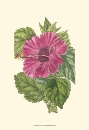 Antique Hibiscus II