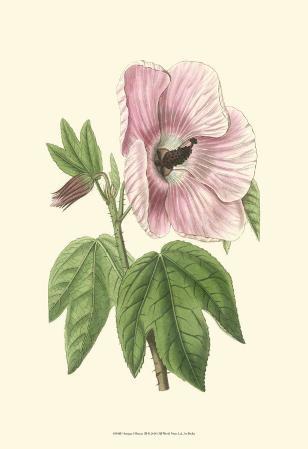 Antique Hibiscus III
