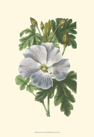 Antique Hibiscus IV