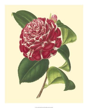 Camellia Garden II