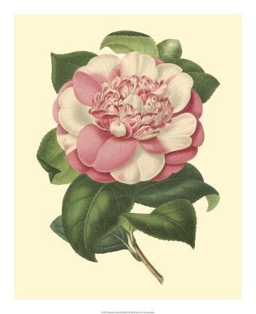 Camellia Garden III
