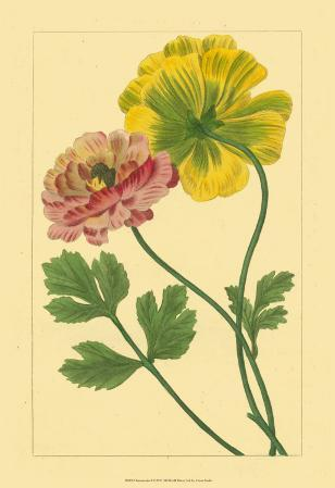 Ranunculus I