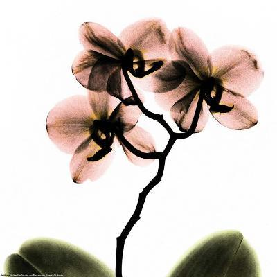 Crystal Flowers X-ray, Orchid