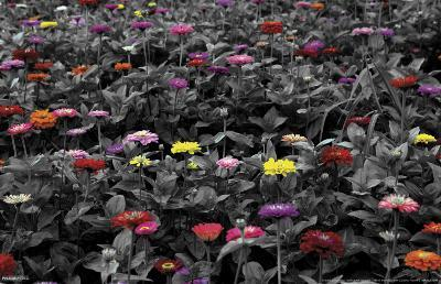B&W Meadow with Colorful Flowe - 3D Poster