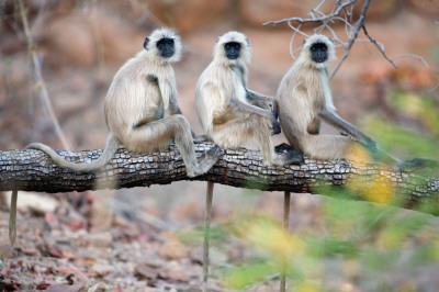 Gray Langurs on Tree