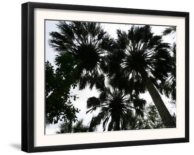 Sabal Palms near Border Fence, Brownsville, Texas