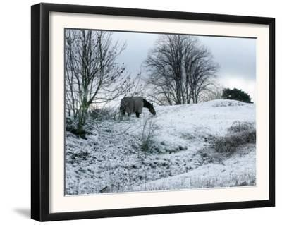 Horse Grazes on a Snow Covered Field in Bearsted in Kent, England
