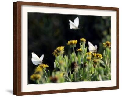 Butterflies Land on Wild Flowers at Boca Chica, Texas