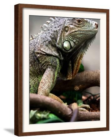 Green Iguana at Exotic Animal Exhibition, Sofia, Bulgaria
