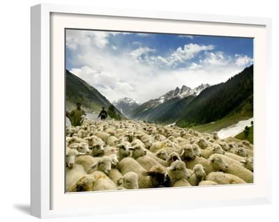 Gujjar Nomadic Shepherds Herd Their Sheep on the Outskirts of Srinagar, India