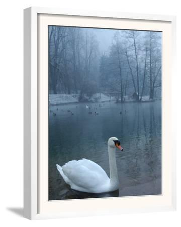 A Swan Swims on the Water in a Park Near Sarajevo