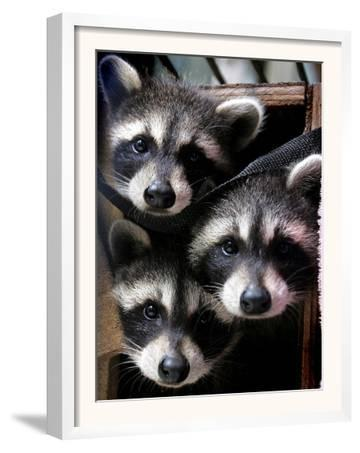 Three Young Raccoons Peer out of Their Nest at the Florida Wild Mammal Association