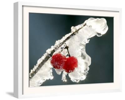 Eisverkrustete Fruechte Eines 'Gemeinen Schneeball' Strauches