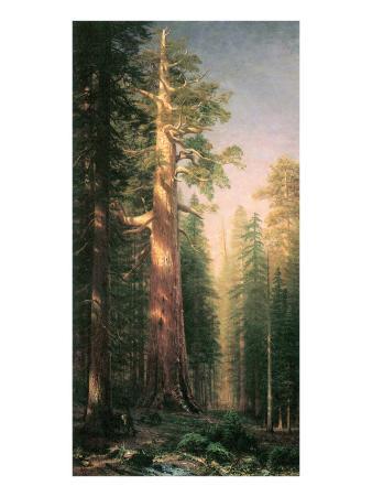 Giant Trees, Mariposa Grove, California