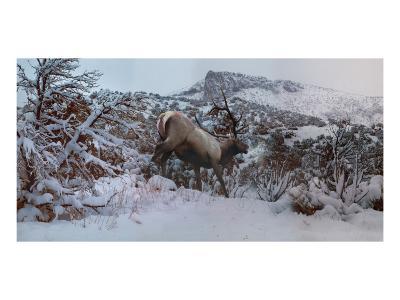 Snowy Elk