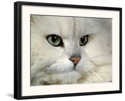 Domestic Cat, Chinchilla Persian Portrait