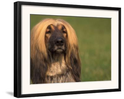 Afghan Hound Face Portrait