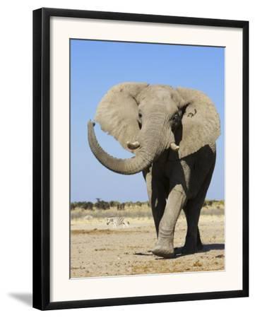 African Elephant, Walking, Namibia