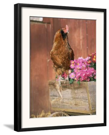 Domestic Chicken, Americana Breed, USA
