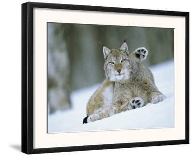 European Lynx Male Grooming in Snow, Norway