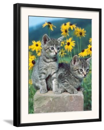 Domestic Cat, Two Kittens (Felis Catus)