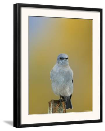 Mountain Bluebird, Male on Post, Grand Teton National Park, Wyoming, USA