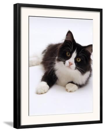 Domestic Cat, 6-Month, Black-And-White Semi-Longhaired Female Cat Lying on Floor