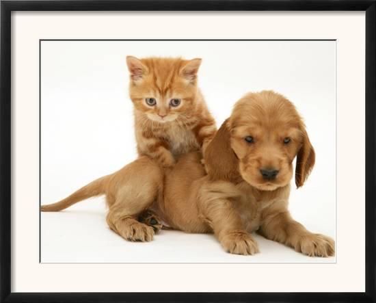 British Shorthair Red Tabby Kitten Climbing Ontop of Golden Cocker Spaniel  Puppy