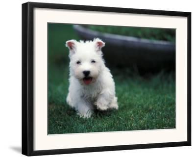 West Highland Terrier / Westie Puppy Walking