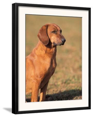 Tyrolean Bloodhound Portrait